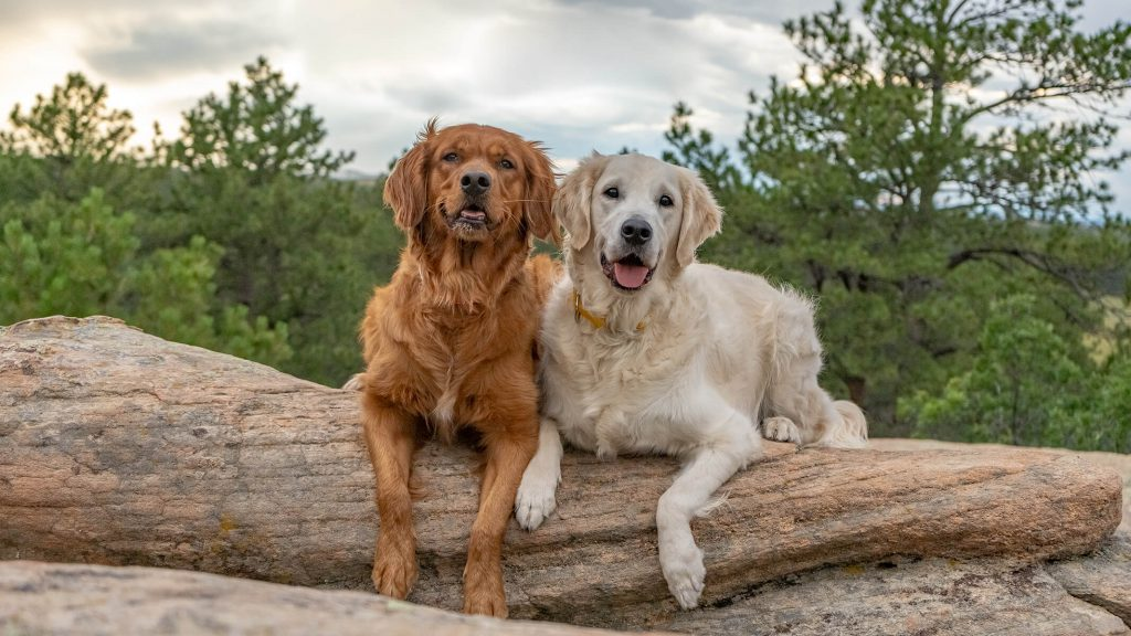 Two lab/retriever dogs laying on a rock with trees and a cloudy sky in the background, Colorado outdoor dog photography, Colorado adventure pups, Serving Denver, Colorado Springs, Fort Collins, and all Colorado pups; Adventure Pup Photography