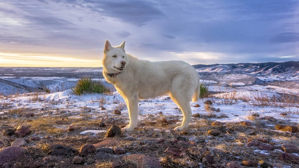 white dog standing in a field of rocks with snow and mountains in the background, Colorado outdoor dog photography, Colorado adventure pups, Serving Denver, Colorado Springs, Fort Collins, and all Colorado pups; Adventure Pup Photography