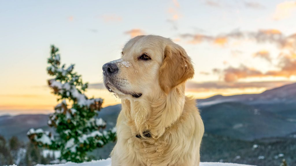 retriever headshot with clouds and trees in the background, Colorado outdoor dog photography, Colorado adventure pups, Serving Denver, Colorado Springs, Fort Collins, and all Colorado pups; Adventure Pup Photography